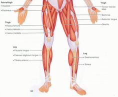 Muscles of the Body Origin Insertion and Action | Anatomy Picture ...
