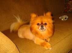 Grooming styles for pomeranians   petcarerx, Pomeranians have thick double coats that give these dogs an appearance that's between a tiny lion and a teddy bear. Description from dogbreedspicture.net. I searched for this on bing.com/images
