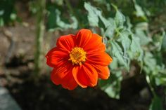Tithonia rotundifolia 'Torch'   aka: Mexican Sunflower