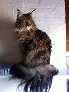 Coco - Black Tabby Maine Coon   Flickr - Photo Sharing!