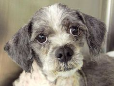 TO BE DESTROYED 10/13/14 Manhattan Center   My name is CALIFORNIA. My Animal ID # is A1016888.  *** DOESN'T WALK ON HIND LEGS ***  I am a male gray and white shih tzu mix. The shelter thinks I am about 3 YEARS old.  I came in the shelter as a STRAY on 10/08/2014 from NY 10467, owner surrender reason stated was STRAY.