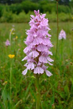 Orchidee bloeit volop op Texel