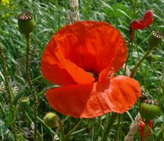Poppy - Klaproos, made by © Alie Hoogenboezem-de Vries