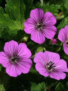 hardy geranium -Pink Penny