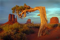 Anne& Pages - Monument Valley May 18 2004 Unique Trees, Unique Plants, Monument Valley, Valley Park, Weird Trees, Juniper Tree, Giant Tree, Celtic Tree, Old Trees