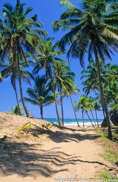 Coqueiros gigantes, encontrados ao longo da  praia de Taipus de Fora, na península de Maraú, litoral do estado da Bahia, nordeste do Brasil.