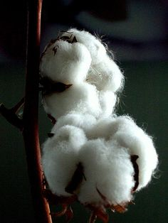 Cotton. Lots of this around San Angelo where I lived.
