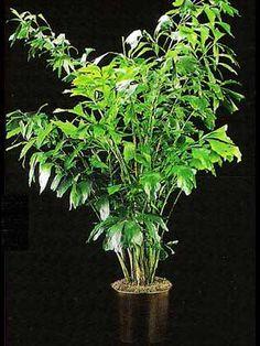 Indoor Plant - Fishtail Palm (Caryota mitis) Medium Light