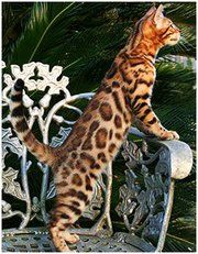 Bengal Cat. After Sushi & George pass on we may have to find one of these. They are actually known to like water I think.