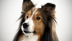 pictures of dog breeds | Shetland Sheepdog : Dog Breed Selector : Animal Planet