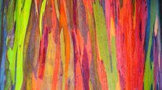 The Rainbow Eucalyptus Tree - Google Search