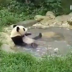 Panda having a bath. Pandas are the most adorable creatures and if they go extinct so will I Cute Funny Animals, Cute Baby Animals, Animals And Pets, Cute Animal Videos, Funny Animal Pictures, Photo Panda, Niedlicher Panda, Panda Funny, Big Panda