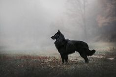 Belgian Groenendael, the all black version of Cutter. Great photo by Ksenia Raykova. Saarloos, Dog Cat, Pet Dogs, Timberwolf, The Ancient Magus Bride, Vegvisir, Belgian Shepherd, Border Collie, Werewolf