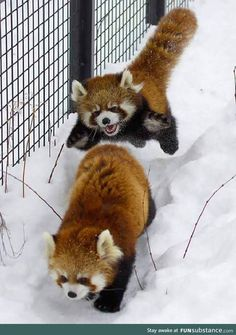 When Red Pandas attack!