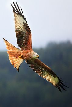 Red Kite -- The Red Kite was saved from national extinction by one of the world's longest running protection programmes, and has now been successfully re-introduced to England and Scotland.   I like the shift from orange to green.