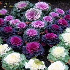 Ornamental Cabbage (Brassica Oleracea) - Start Ornamental Cabbage seeds to create a colorful bed that is cold tolerant and easy-to-maintain. Ornamental Cabbage uses include edging the flower border or Cabbage Plant, Cabbage Flowers, Cabbage Seeds, Winter Plants, Winter Flowers, Flowering Kale, Meadows Farms, California Decor, Ornamental Cabbage