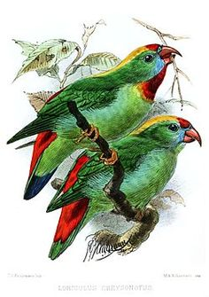 Cebu Hanging Parrot - Wikipedia, the free encyclopedia