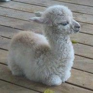 Baby alpaca! So cute - if we had room, we'd have to get a couple.