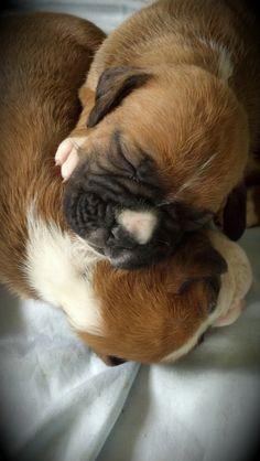 #boxerdog #boxer #dog #puppy