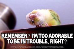 Small Pet Birds That Can Talk ; Funny Birds, Cute Birds, Pretty Birds, Beautiful Birds, Parrot Toys, Parrot Bird, Parrot Pet, Cute Baby Animals, Funny Animals