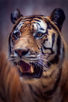 Tiger by Fotostyle_Schindler on 500px
