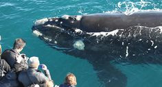 Top 10 Things to do Margaret River: Go Whale Watching with Natuarliste Charters Whale Migration, Whale Watching Season, Western Australia, Australia Travel, Blue Whale, Tourism, Things To Do, Surfing, Scenery