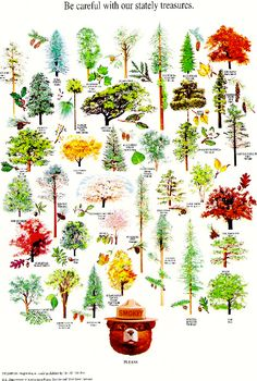 Forestry Smokey's Tree Nature Poster - I love these posters SO much. Botanical Drawings, Botanical Illustration, Botanical Prints, Bird Illustration, Leaf Identification, Smokey The Bears, Nature Posters, Nature Journal, Tree Leaves