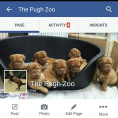Facebook page-The Pugh Zoo #doguedebordeaux #chihuahua #horses #spyhnx #persiancats #chinesecrested