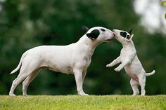 Bull Terrier pup on hind legs getting kiss from mom