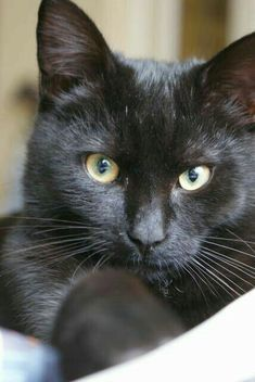 my nearly daily black cat love . Pretty Cats, Beautiful Cats, Kittens Cutest, Cats And Kittens, Ragdoll Kittens, Tabby Cats, Funny Kittens, Bengal Cats, Chat Lion