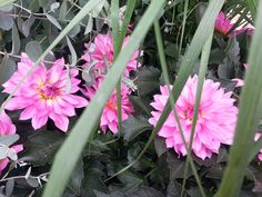 Dahlias  peeking thru the grasses