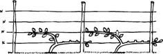 This espalier design saves one year of growth. The secret lies with planting the tree at a slight angle and bending the length of the tree onto the bottom wire. The following year, the upright branch closest to the stem gets lain onto the next wire