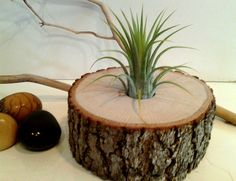 Air Plant in Natural Tree Trunk.