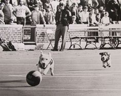"""1968-1970s: Michigan Wolverines mascots Whiskey and Brandy. After Whiskey debuted at the 1968 MSU game, an ad appeared in the Michigan Daily: """"WANTED. Overwhelming demand for continued halftime performances for 'Little Dog Blue' and his magic ball has necessitated a full scale search for the small but strong star."""" For a time Whiskey and her daughter, Brandy, continued the shows. When Whiskey reached retirement age, Brandy performed solo. These halftime shows were discontinued in the mid…"""