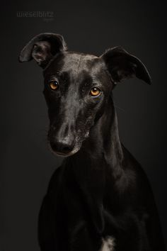 Black Galgo Español by Elke Vogelsang on 500px
