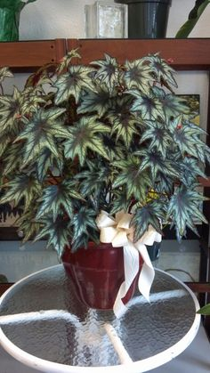 Houseplants That Filter the Air We Breathe Jeremy Begonia Perennial Flowering Plants, Foliage Plants, Perennials, Planting Succulents, Planting Flowers, Beautiful Gardens, Beautiful Flowers, Belle Plante, Different Plants