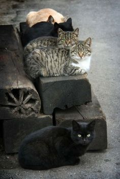 Why isn't the black cat sitting with the other cats? Pretty Cats, Beautiful Cats, Animals Beautiful, Beautiful Babies, Animals And Pets, Cute Animals, Gatos Cats, Photo Chat, Feral Cats