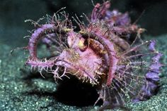 """*INDONESIAN REEF FISH ~ Scorpionfish by Christine Dell'Amore. The """"bizarre looking"""" scorpionfish, Pteroidichthys amboinensis, is among the world's more than species of venomous fish. (via: National Geo) (photo: Roger Steene, Conservation Intl. Life Under The Sea, Salt Water Fish, Underwater Life, Monterey Bay Aquarium, Ocean Creatures, Sea And Ocean, Sea World, Fauna, Deep Sea"""
