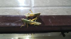 Grasshoppers going to score - http://ift.tt/2fiyrjq