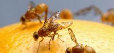 die besten 25 fruchtfliegenfalle ideen auf pinterest fruchtfliegen obstfliegen hausmittel. Black Bedroom Furniture Sets. Home Design Ideas