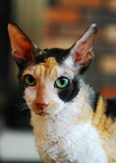 love this cat -Cornish Rex - Bing Images