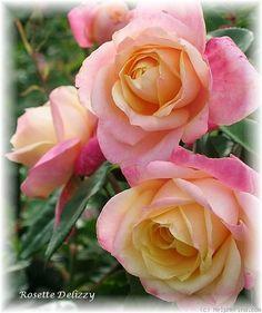 'Rosette Delizy' Rose Photo