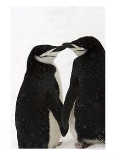 A Pair of Chinstrap Penguins in a Courtship Cuddle Photographic Print Beautiful Birds, Animals Beautiful, Cute Animals, Polar Animals, Penguin Love, Cute Penguins, Penguin Pictures, Animal Pictures, Bird Pictures