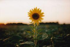 Imagem de flowers, sunflower, and photography Kodak Gold, Sunflower Fields, Stay Wild, Little Flowers, Golden Hour, Amazing Nature, Cover Photos, Autumn Leaves, Mother Nature
