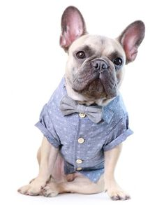 75706dbb47 Back To School Chambray Shirt by Dog Threads Hipster Dog, Cute Dog Clothes,  Pet