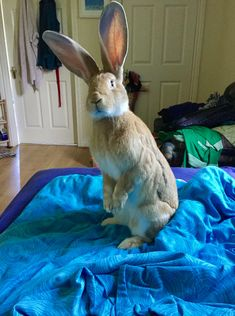 I'm not a monkey jumpin on the bed! Giant Bunny, Big Bunny, Cute Baby Bunnies, Funny Bunnies, Animals And Pets, Funny Animals, Cute Animals, Chinchilla, Flemish Giant Rabbit