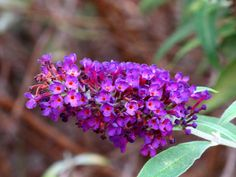 Butterfly Bush, Kentlands, Flowers IMG_3513  Photograph by Roy Kelley using a Canon PowerShot G11 camera.  Roy and Dolores Kelley Photographs
