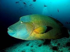 Napoleon Wrasse, first saw one in the Red Sea, amazing!