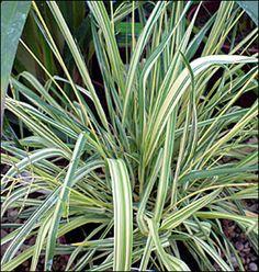 Kirjosiniheinä 'Variegata'<br>Molinia caerulea 'Variegata' Herbs, Plants, House Plants Decor, House Decorations, Forests, Grow Taller, Herb, Plant, Planets