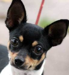 Ori is a 1 year old chihuahua mix. He is currently at the New Haven Animal Shelter. His best friend is a kitten named Loki, and we would love for them to be adopted together!